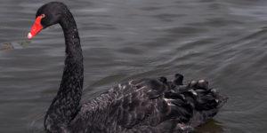 La Teoria del Cigno Nero